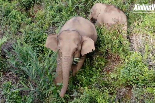 Kawanan gajah liar masuk ke perdesaan China mencari makan