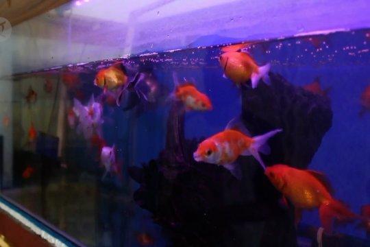 Penjualan ikan hias meningkat tajam di masa pandemi