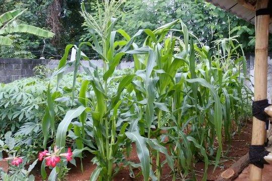 Jaga ketahanan pangan, DKP Kota Tangerang bagikan bibit tanaman produktif