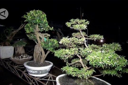 Membuka lapangan kerja dengan menanam bonsai