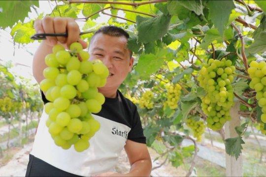 Petani sambut panen besar-besaran di Hunan