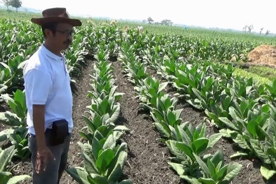 Petani tembakau Ngawi dihadapkan kesulitan menjual hasil panen