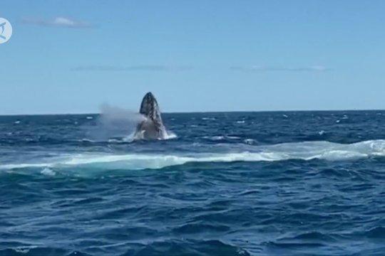 Perairan Australia jadi tempat migrasi terbesar paus bungkuk