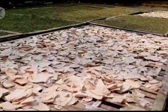 Talas Beneng jadi produk unggulan dari Kabupaten Pandeglang