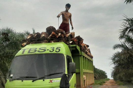 Harga TBS sawit di Kalbar membaik capai Rp1.941,77 per kilogram