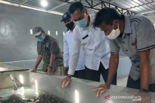 Kemenko Maritim kembangkan Telong Elong jadi sentra budidaya lobster