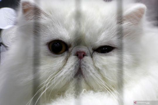 Ini cara mandikan kucing persia yang benar