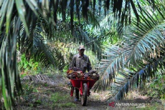 POPSI:  Petani sawit swadaya perlu pembinaan intensif semua pihak