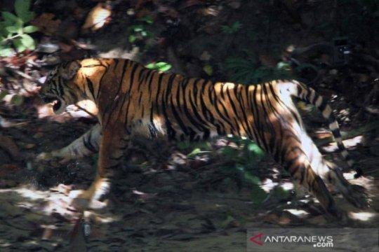 Dua sapi milik warga Aceh Selatan mati diduga dimangsa harimau