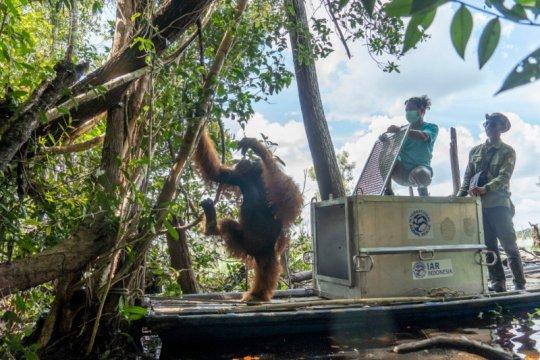 BKSDA-IARI translokasikan orangutan ke hutan rawa gambut Ketapang