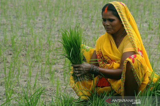 Ekspor beras India dapat melonjak karena efek kekeringan di Thailand