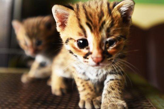 Petugas BKSDA Banten amankan kucing kuwuk
