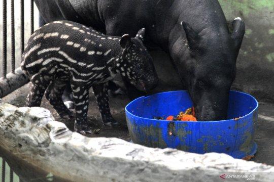 Koleksi tapir Taman Rimba Jambi bertambah