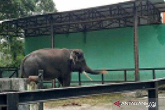 Sepekan, tiga keturunan mata biru hingga gajah kehilangan pasangan
