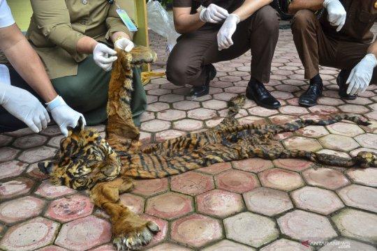 Penyerahan barang bukti kulit harimau sumatera