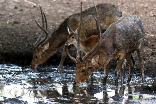 Ketersediaan air untuk satwa di Taman Nasional Baluran