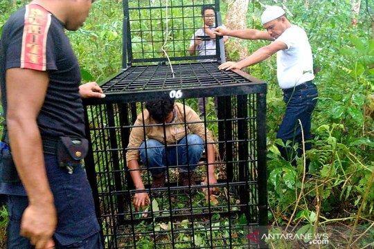 BBKSDA Riau pasang perangkap untuk beruang di perusahaan sawit