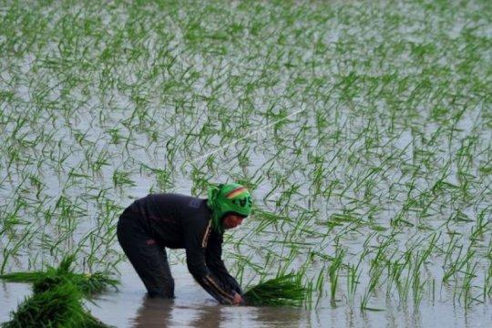 Produksi padi Sumatera Selatan bisa tembus 2,69 juta ton GKG