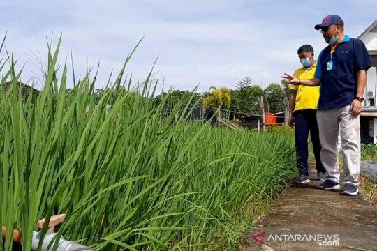 Kalbar kembangkan 960 hektare padi Inpari Nutri Zinc, cegah stunting