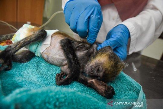 Klinik satwa BKSDA Riau rawat primata yang dilindungi
