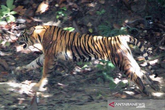 Seekor harimau sumatera ditemukan terjerat di Gayo Lues