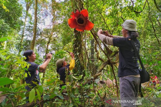 Bunga Rafflesia mekar menggantung pada tumbuhan inang di Bengkulu