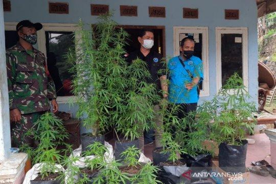 BNN Tasikmalaya ungkap tanaman ganja di rumah warga