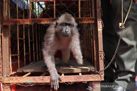 BKSDA Sultra terima Kera Hitam Sulawesi tanpa tangan kiri