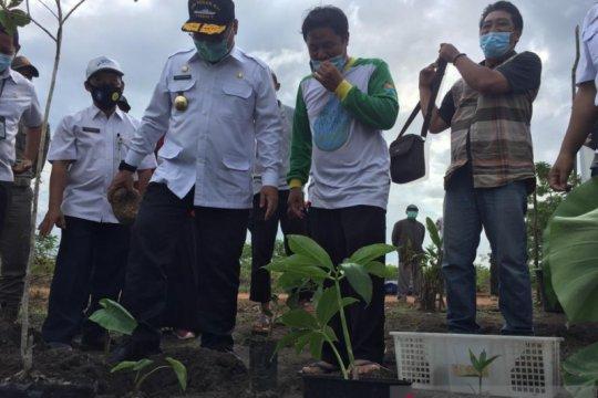 Petani Bangka Tengah membudidayakan tanaman porang
