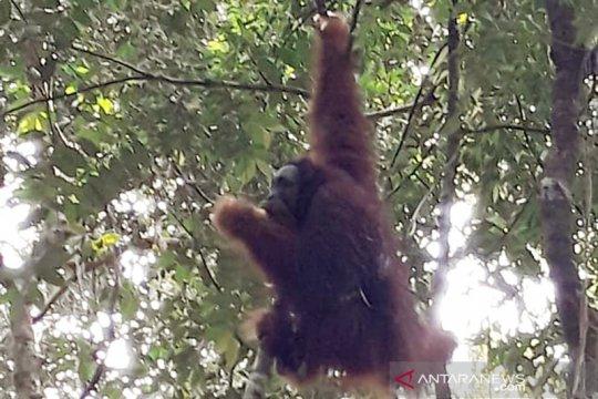 Rocky orangutan dilepasliarkan di TN Bukit Tiga Puluh Riau