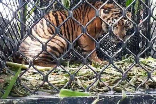 BKSDA sebut harimau terjerat di Gayo Lues masih dalam penyembuhan