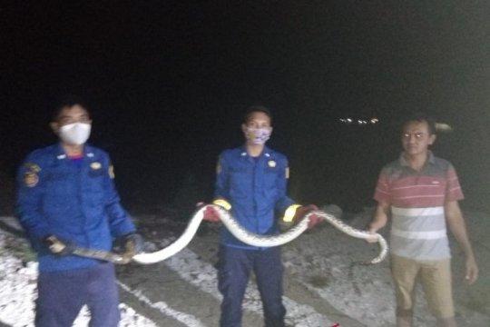 Dua ular sanca diamankan di Kepulauan Seribu