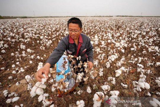 Hamparan ladang kapas siap panen di China