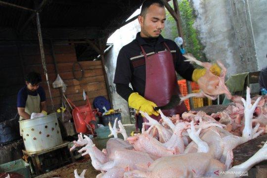 PT PPI secara reguler serap ayam potong peternak mandiri di Jawa Barat