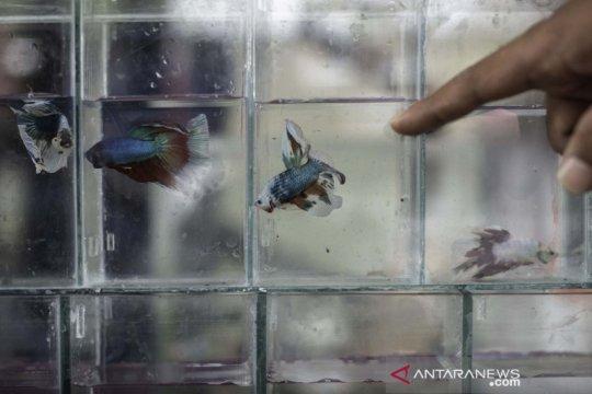 Pameran ikan cupang