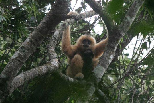 Temukan China: Owa Hainan: Penyanyi primata perluas panggung hutan mereka