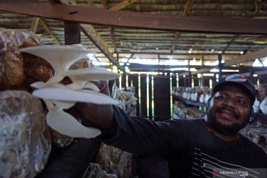 Sosok warga Papua yang berhasil jadi petani jamur tiram