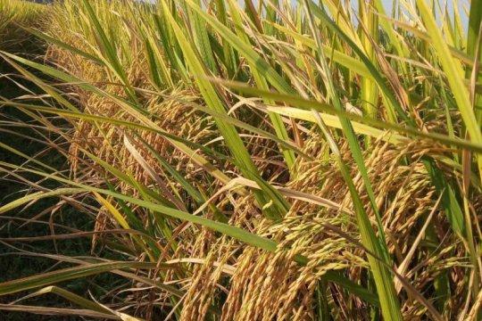Kementan: 506 varietas tanaman sudah mendapatkan hak PVT
