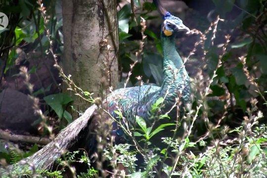 Hari Satwa Sedunia Bandung Zoo kehadiran 2 anak merak hijau