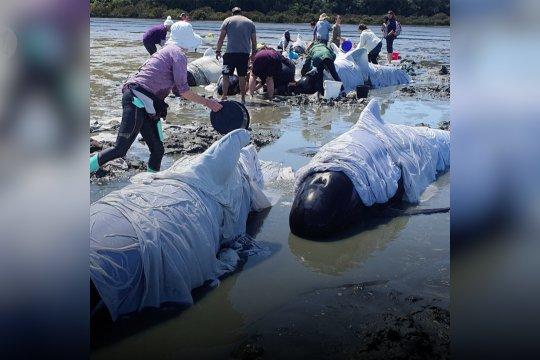 Belasan paus mati terdampar di pantai Selandia Baru