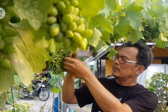 Budidaya anggur impor di Gunungkidul