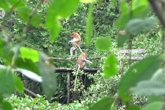 Mengamati koloni bekantan di ekowisata minat khusus Pulau Curiak