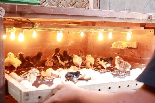 Meningkatnya permintaan anak ayam kampung di masa pandemi