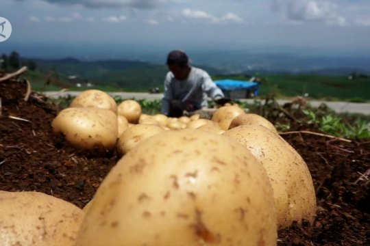Petani Batang kembangkan kentang genotipe Tedjo MZ