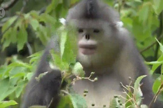 Cagar Alam Honglashan, surga bagi monyet berhidung pesek di Tibet