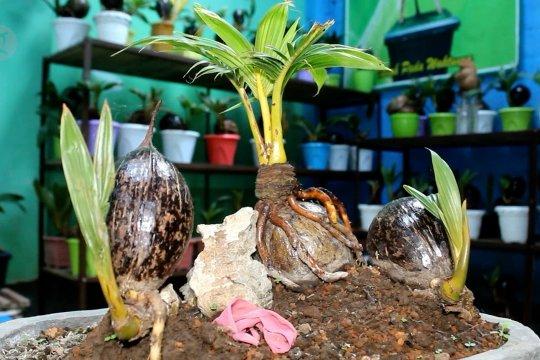 Bonsai kelapa jadi potensi bisnis baru di tengah pandemi