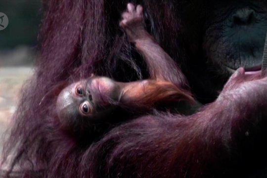 Bayi orangutan Kalimantan lahir di kebun binatang Inggris