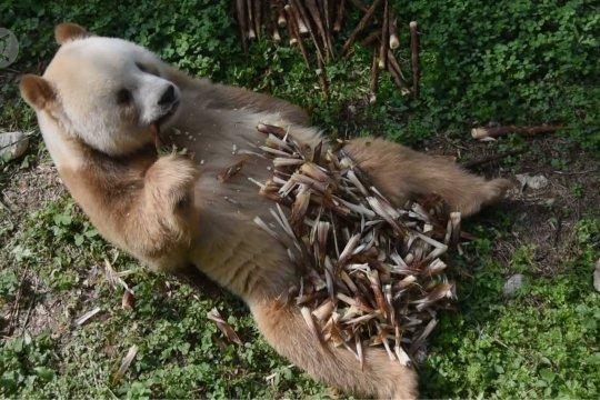 Qi Zai, panda raksasa cokelat dengan nafsu makan luar biasa
