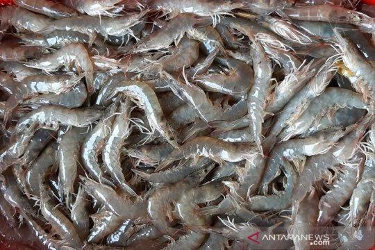 Asosiasi Akuakultur: Probiotik tingkatkan daya tahan komoditas udang
