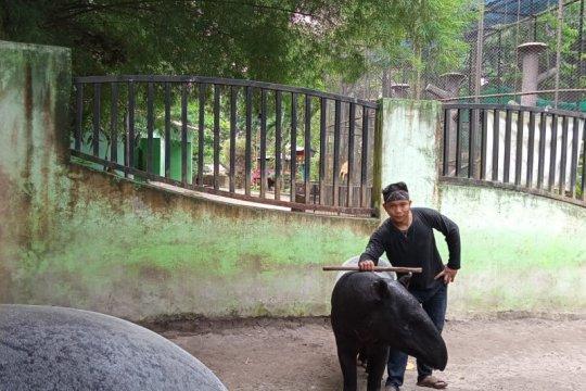 Keeper Taman rimba kembangbiakkan tapir dari pengalaman pelihara sapi